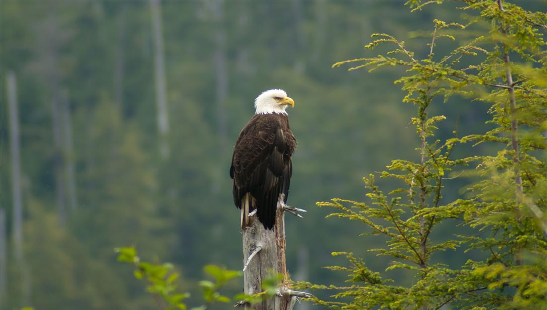 A bold eagle in Alaska