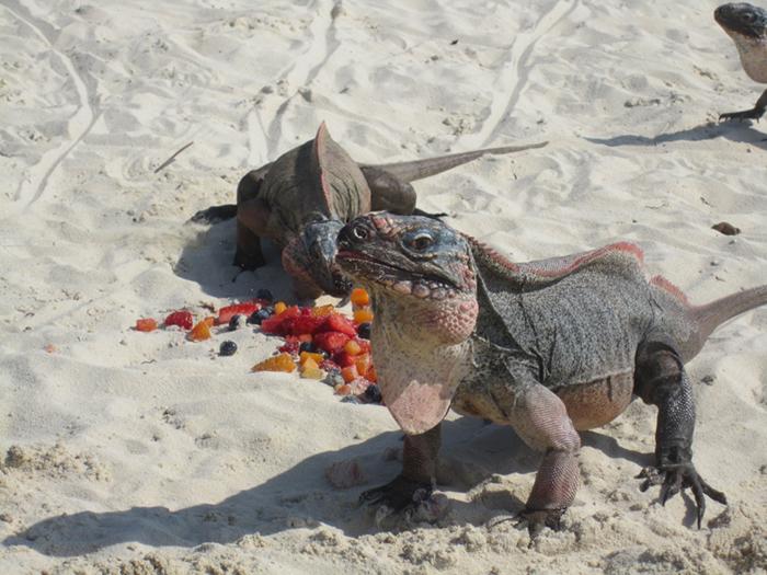 Iguanas at Allen Cay in the Exumas