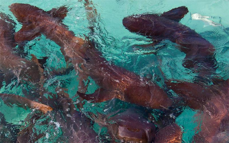 Swim with Nurse Sharks