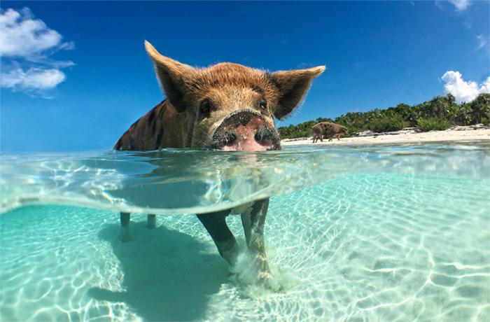 Swimming pig of the Exumas